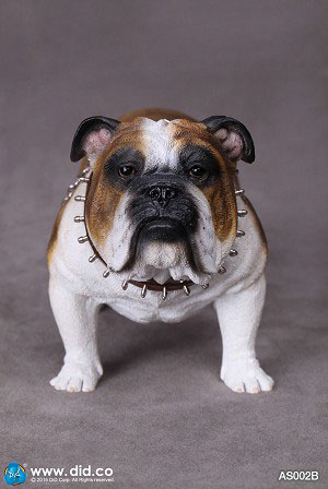 1/6 Animal series 「British Bulldog」 AS002B[DID]《在庫切れ》