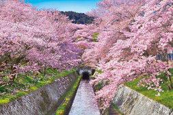 ジグソーパズル めざせパズルの達人(日本風景・春柄) 桜咲く琵琶湖疎水-滋賀 1000ピース(10-788)[エポック]《取り寄せ※暫定》