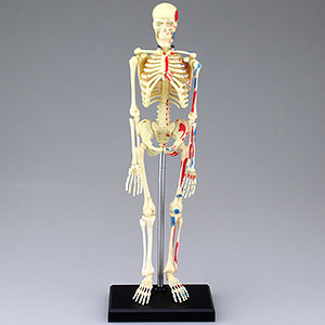Standing Puzzle 4D VISION Human Anatomy Model No.08 Skeleton Model