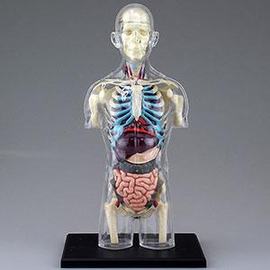 立体パズル 4D VISION 人体解剖モデル No.14 胴体解剖スケルトンモデル