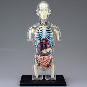3D Puzzle 4D VISION - Human Anatomy Model No.14 Torso Anatomy Skeleton Model